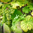 White Grapes on a Branch — Stockfoto