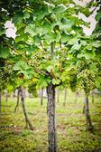 Vine with white Grapes — Stock Photo