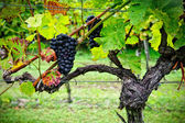 Vine with Red Grapes — Stock Photo