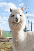 White Alpaca — Stock Photo
