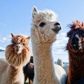 три смешные альпаки — Стоковое фото