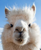 Head of a white Alpaca — Stock Photo