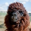 Head of a funny Alpaca — Stock Photo