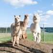 Royalty-Free Stock Photo: Group of white and brown Alpacas