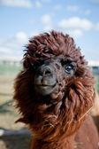 Head of a funny Alpaca — Stock Photo