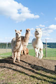 Group of white and brown Alpacas — Stock Photo