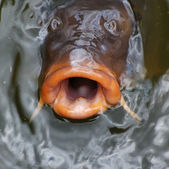 Carp will Eat You — 图库照片