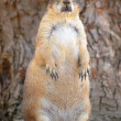 Stock Photo: Fat Prairie Dog