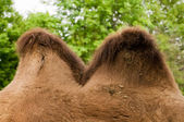 Camel Hump — Stock Photo