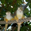 Stock Photo: Two Common Squirrel Monkeys