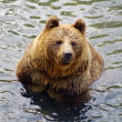 Grizzly-Bear in Water - Stock Photo