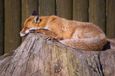 Sleeping Fox — Stock Photo