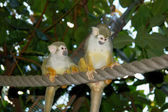 Two Common Squirrel Monkeys — Stock Photo