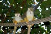 Two Common Squirrel Monkeys — Stock Photo