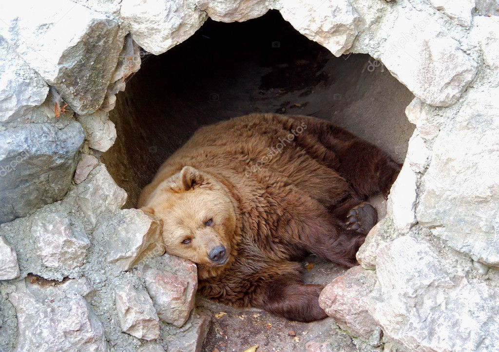 Brown bear sleeping in his cave.  Stock Photo #18843315