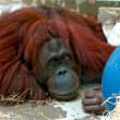 Stock Photo: Depressive Orang Utan