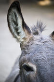 Part of a Donkey Head — Stock Photo