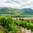 View over vineyard to Danube River — Stock Photo