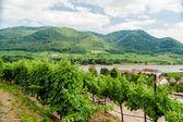 View over vineyard to Danube River — Stock Photo