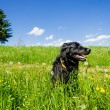 Foto Stock: Dog sitting in Summer Meadow