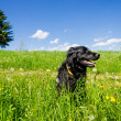 Dog sitting in a Summer Meadow - Stock Photo