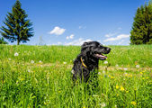 Dog sitting in a Summer Meadow — Stock Photo