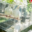 Stock Photo: Doves on a Wedding Celebration