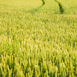 Stock Photo: Tire Track in a Cornfield