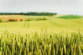 Cornfield in Upper Austria — Stock Photo
