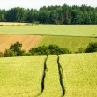 Tractor Track in a Corn Field — Stock Photo