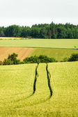 Tractor Track in a Corn Field — Stock Photo