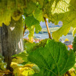 View through the Vine — Stock fotografie