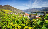 Vineyard in Lower Austria — Stok fotoğraf