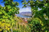 Natural frame in a Vineyard — Stock Photo