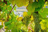 Natural Frame with Winegrapes — Stock Photo