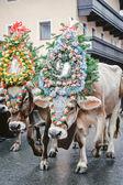 Decorate le mucche in austria — Foto Stock