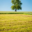 Apple Tree in the Meadow — Stock Photo