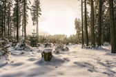 Snowy conifer tree forest — Stock Photo