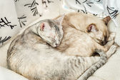 Two slepping Cats — Stock Photo