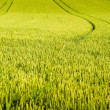 Stock Photo: Wheat field with tractor tracks