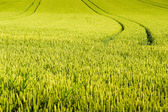 Wheat field with tractor tracks — Stock Photo