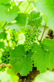 Unripe grape cluster — Stock Photo