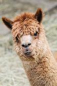Brown Alpaca — Stock Photo