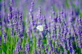 Butterfly in a lavender field — Stock Photo