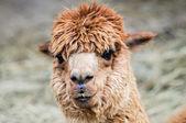 śmieszne szuka alpaki brązowy — Zdjęcie stockowe