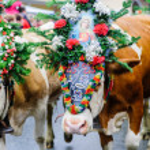 Cow Festival in Austria — Stok fotoğraf