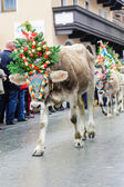 Cow festival with young calf — Stock Photo