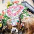 Traditional cow festival in austria — Стоковое фото