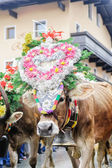Traditional cow festival in austria — Stock Photo