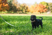 Young retriever puppy on a leash — Stock Photo